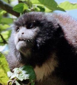 Monkey Head 2