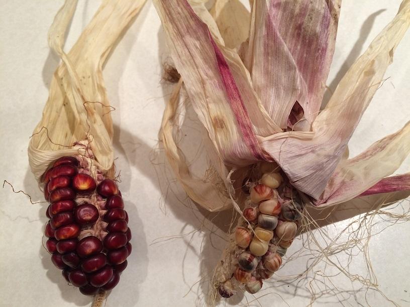 Indian Corn 25