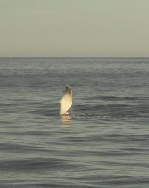 whalepec295